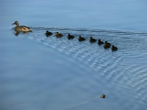 Lining up the Ducks